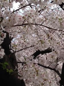 2015 花見②